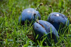 Three ripe juicy plums that had fallen in the green grass Stock Photo