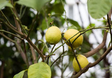 Three ripe lemon fruit on the branch. The lemon tree with fruits stock photography