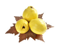 Three ripe quinces on autumn leaf Royalty Free Stock Photo