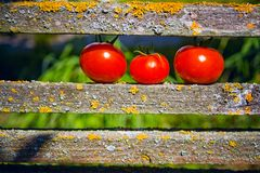 Three ripe tomatoes. Lying on the fence stock image