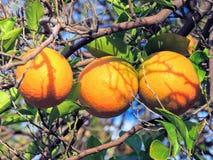 Three ripening Oranges close up in tree in Arizona, USA. royalty free stock photos