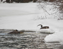 Three River Otters playing Royalty Free Stock Photography
