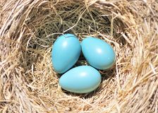 Three Robin Eggs Royalty Free Stock Photos