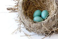 Three robin eggs in the nest Stock Image