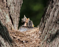 Three Robins in a Nest. Three baby robins nestled in a nest, scream with hunger pains. They await their parents return in hope of food Royalty Free Stock Photos