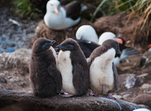 Three rock hopper penguin chicks standing in line Royalty Free Stock Image