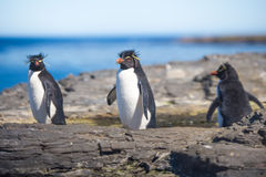 Three Rockhopper Penguins in colony Stock Photos