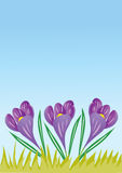 Three Crocus flowers. On a pale blue background Royalty Free Stock Photography