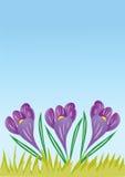 Three Crocus flowers Royalty Free Stock Photography