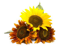 Three romantic colorful sunflowers Royalty Free Stock Image