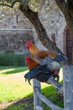 Three Roosters on a Fence Stock Images