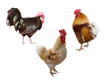Three Roosters Isolated On White Royalty Free Stock Photos