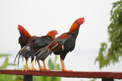 Three Roosters Stock Images