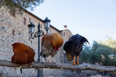 Three Roosters on a Fence Stock Photography