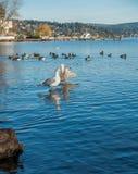 Three Roosting Seagulls Stock Photos