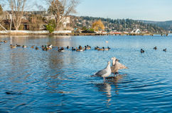 Three Roosting Seagulls 2. Three seagulls roost on Lake Washington near Seattle Royalty Free Stock Photo