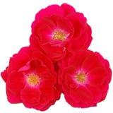 Three rose Stock Photo