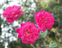 Three  Rose flowers Royalty Free Stock Photos