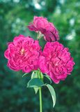 Three  Rose flowers Royalty Free Stock Images