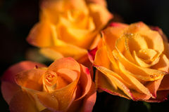 Three rose flowers with dew, close up Royalty Free Stock Photo