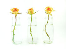 Three rose in vase isolated Stock Image