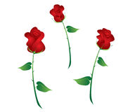 Three Rosebuds. Illustration of three different red rosebuds Royalty Free Stock Photography