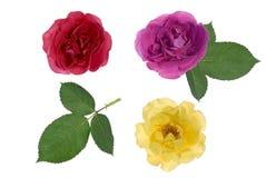 Three roses Stock Photos