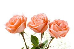 Three Roses. Over white background Royalty Free Stock Images