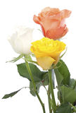 Three roses. Pink, white and yellow roses Royalty Free Stock Photography
