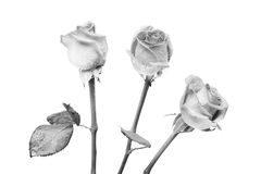 Three roses. Three black and white  roses wet with morning dew Royalty Free Stock Photography