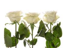 Three roses. Three beautiful white delicate fragrant roses on a white background horizontal Royalty Free Stock Photos