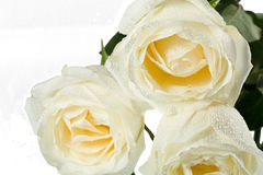 Three roses close-up Stock Photography