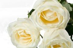 Three roses close-up Stock Photography