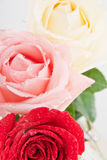 Three roses closeup. Three roses red, pink and white closeup with water drops. Focus on red rose Stock Photography