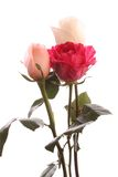 Three roses, isolated. Royalty Free Stock Images