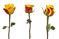 Three Roses isolated. Yellow and Red roses isolated on white background Royalty Free Stock Photography