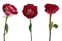 Three Roses isolated. Red roses isolated on white background Royalty Free Stock Photos
