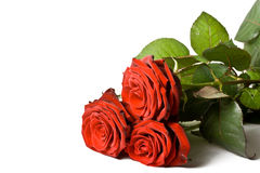Three roses isolated Stock Photography