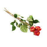 Three roses isolated lying over the white surface. Three red orange roses isolated lying over the white surface Royalty Free Stock Photo
