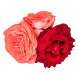 Three roses isolated. Three pink and red roses isolated on white background Stock Image