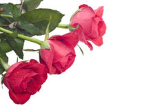Three roses (on the left) Royalty Free Stock Image
