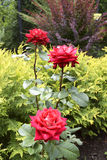 Three roses. Three red roses in the garden Stock Photo