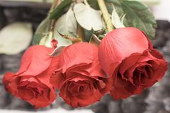 Three roses. Red Rose give flowers. Valentine`s day royalty free stock images