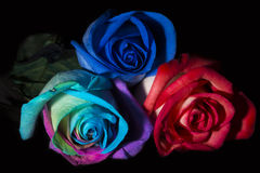 Three Roses, Three Colours Royalty Free Stock Photos