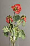 Three roses in a vase Royalty Free Stock Photo