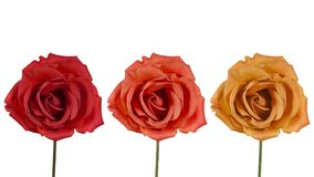 Three roses on a white background. Studio portrait of three red roses Royalty Free Stock Photography