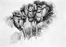 Three roses on white. Hand drawn sketch Royalty Free Stock Photography