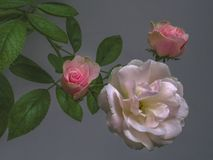 Three Roses White and Pink Green Leaves on Gray Background royalty free stock image