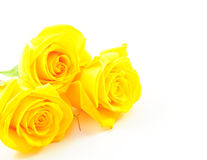Three Roses Yellow on White Stock Photo