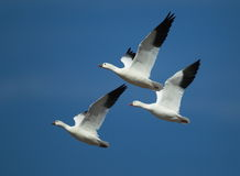 Three ross geese in flight with a blue sky background. Three ross geese flying with a blue sky background Royalty Free Stock Image